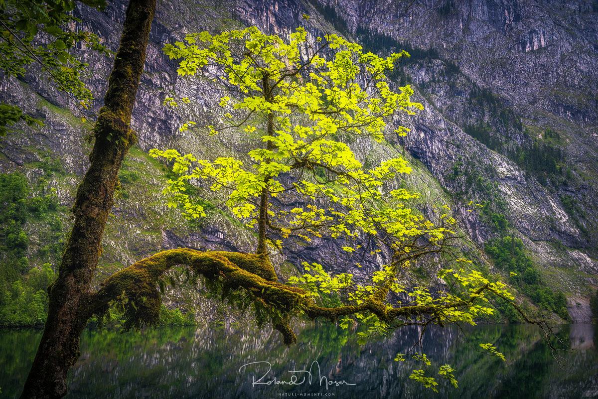 Bergsee-Baum-Fruehling-Berchtesgadenjpg