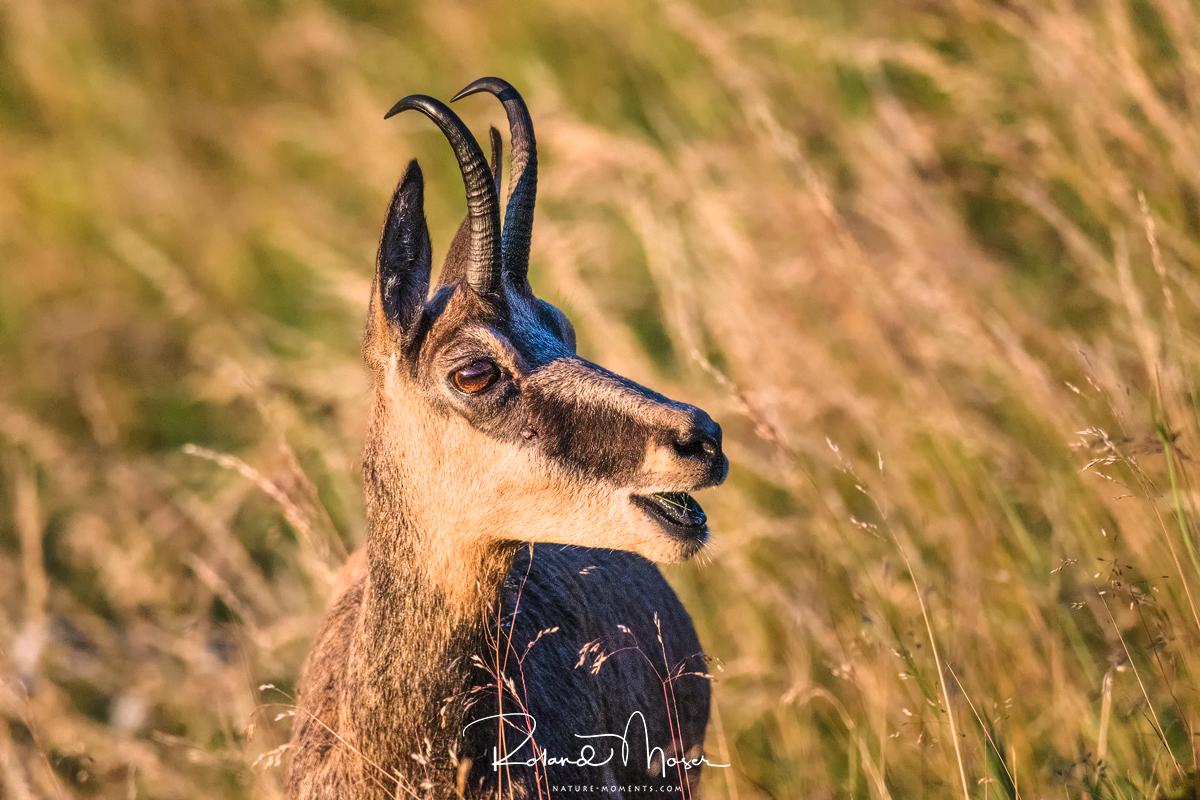 Wildlife-Gams-Vogesenjpg