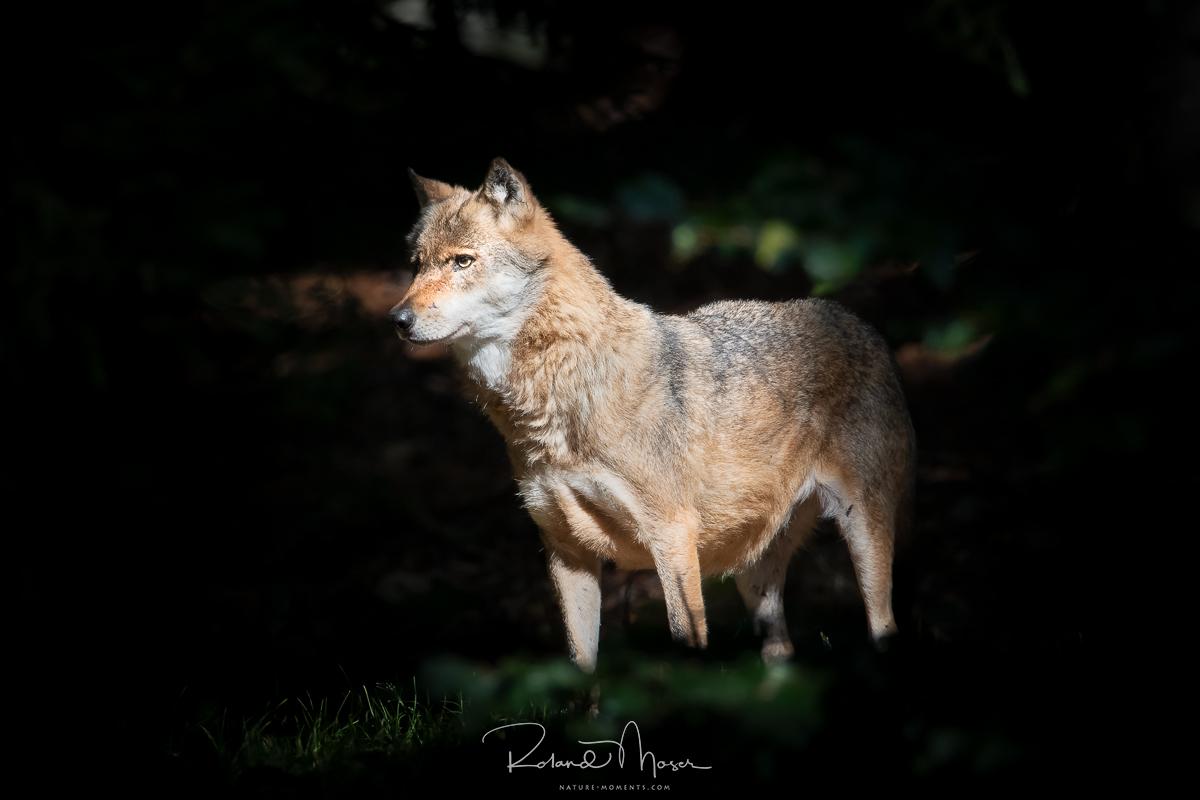 Bayerischer Wald-Wolfjpg