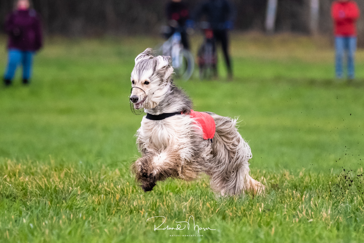 20191124-_DSF2760---Cillie-Advents-Coursing2019jpg